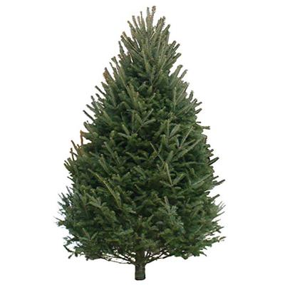 balsam-fir-christmas-tree-10-12