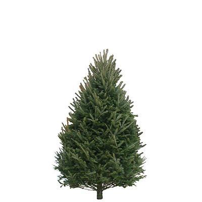 balsam-fir-christmas-tree-5-6