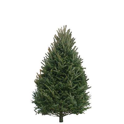 balsam-fir-christmas-tree-6-7