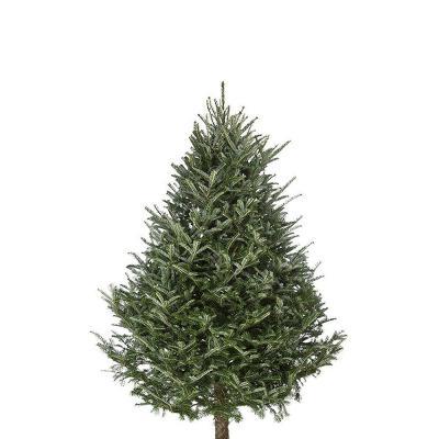 fraser-fir-christmas-tree-6-7