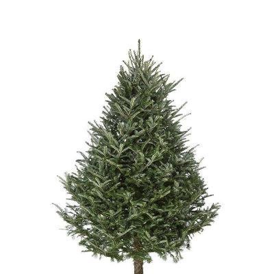 fraser-fir-christmas-tree-7-8