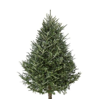 fraser-fir-christmas-tree-8-9
