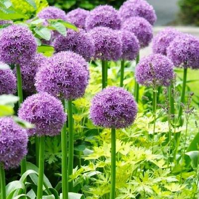 Allium 'Globemaster' 2 Gallon