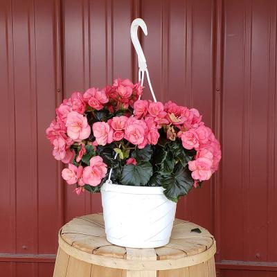 begonia-hanger-8-inch