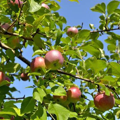 Apple Tree 'Cortland' 7 Gallon