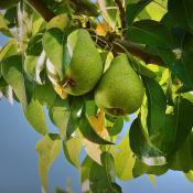 anjou-pear-tree