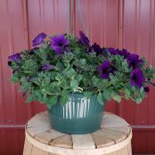annual-hanger-10-inch-petunia-deep-purple