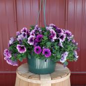 annual-hanger-10-inch-petunia-mixed-purple