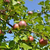 cortland-apple-tree