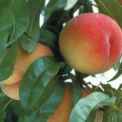 frost-peach-tree