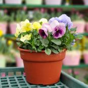 pansies-pot-8-in-assorted