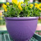 pansies-purple-bowl-12-in-assorted