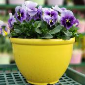 pansies-yellow-bowl-12-in-assorted