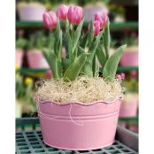 tulips-10-in-pot-pink