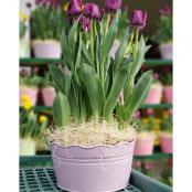 tulips-10-in-pot-purple
