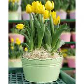tulips-10-in-pot-yellow