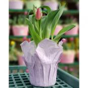 tulips-6-in-pot-red