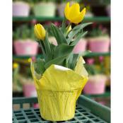 tulips-6-in-pot-yellow