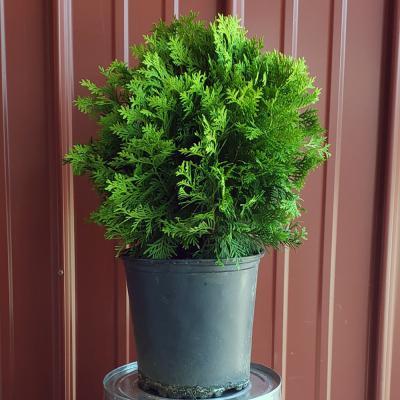 American Arborvitae 'Danica' 2 Gallon