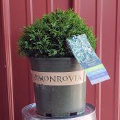 cypress-squarrosa-minima-2-gal