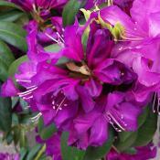 rhodedendrum-purple-passion