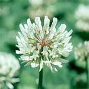 white-clover-1-lb